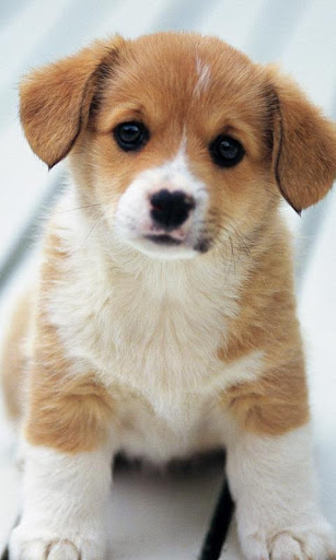 Free Samsung GT-S5300 Galaxy Pocket Cute Puppies Wallpapers Software