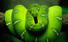 Free HD Snake Reptile Animal Wallpaper for Android