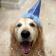 Canine birthday Live WP