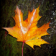 Maple Leaf at rain Live WP
