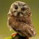 Little Owl at rain Live Wallpaper