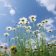 Daisy Flower Live Wallpaper