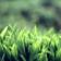Bright Green Grass HD WP