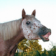 Horse Smiles Big Live WP
