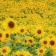 Sunflower at rain Live WP