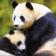 Panda at rainy weather Live WP