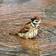 Funny Wet Birds at rain LWP