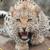 Beautiful Leopard Live Wallpaper HD