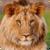 Beautiful Lion Live Wallpaper HD