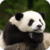 Beautiful Panda Live Wallpaper HD