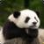 Beautiful Panda Live Wallpaper HD