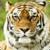 Beautiful Tiger Live Wallpaper HD