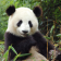 Bonjour panda