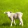 Baby Lamb - 5547