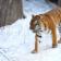 Walking Tiger Custom