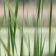 Marsh Grass - Live Motion Wallpaper