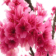 Cherry Blossom 2 with custom icons (for BlackBerry Bold os6)