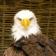 Eagle_livewallpaper