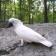 White Parrot lw
